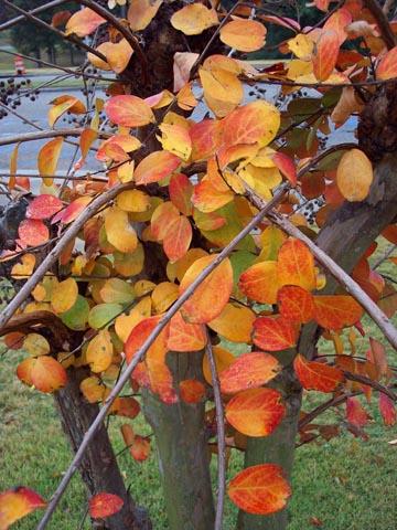 Crepe Myrtle fall foliage