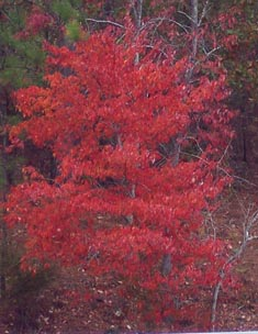 Red leaves of fall foliage