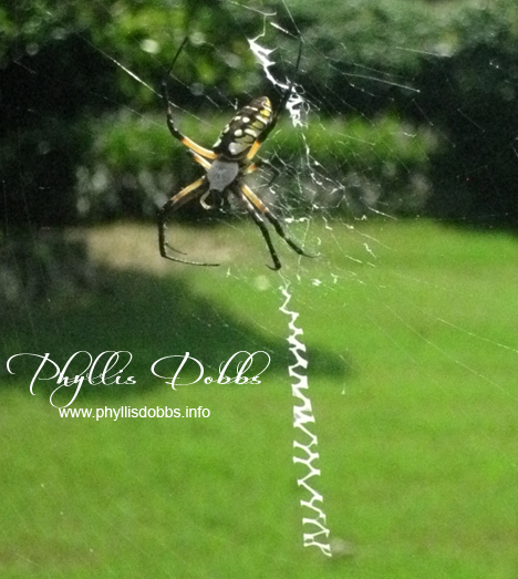 Black and yellow garden spider stitching a web