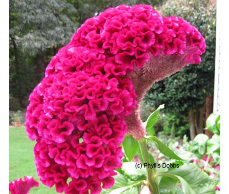 Cock\'s comb flower closeup