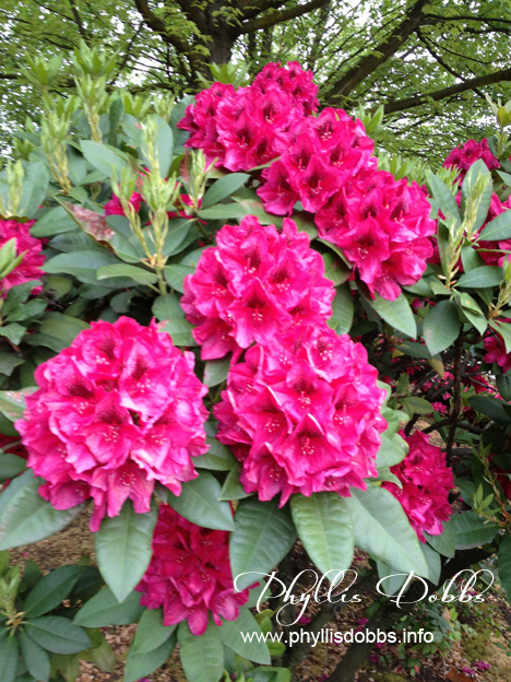 Rhododendron in Portland